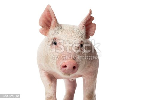 Piglet standing on a light background.
