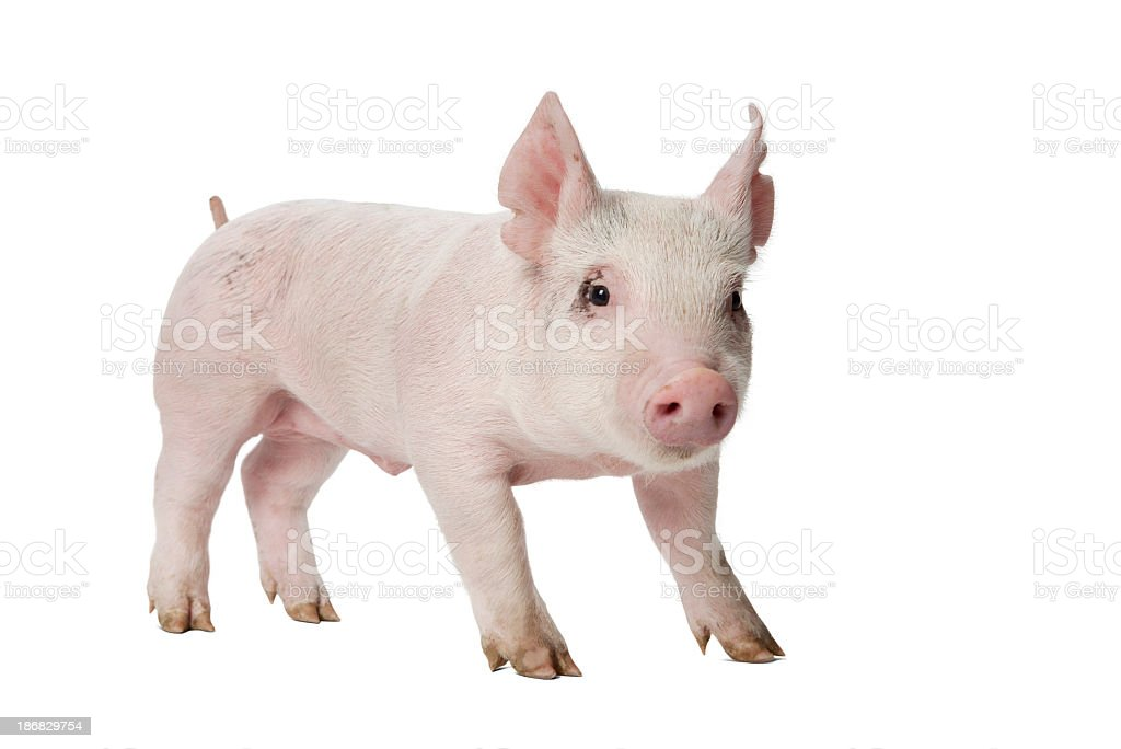 Piglet Looking at Camera Standing on White Background. stock photo