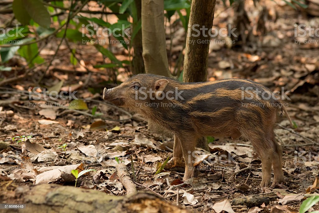 Piglet of wild boar on Pulau Ubin stock photo
