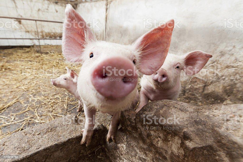 Piglet on pig farm staring into camera stock photo