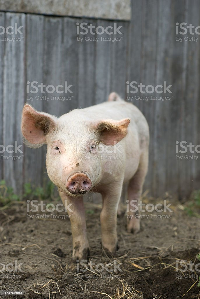 Piglet royalty-free stock photo