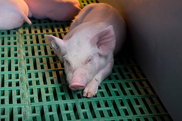 piglet sleeping on plastic flooring - traumscheune stock-fotos und bilder