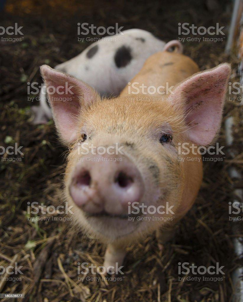 Piglet Smile at a farm royalty-free stock photo