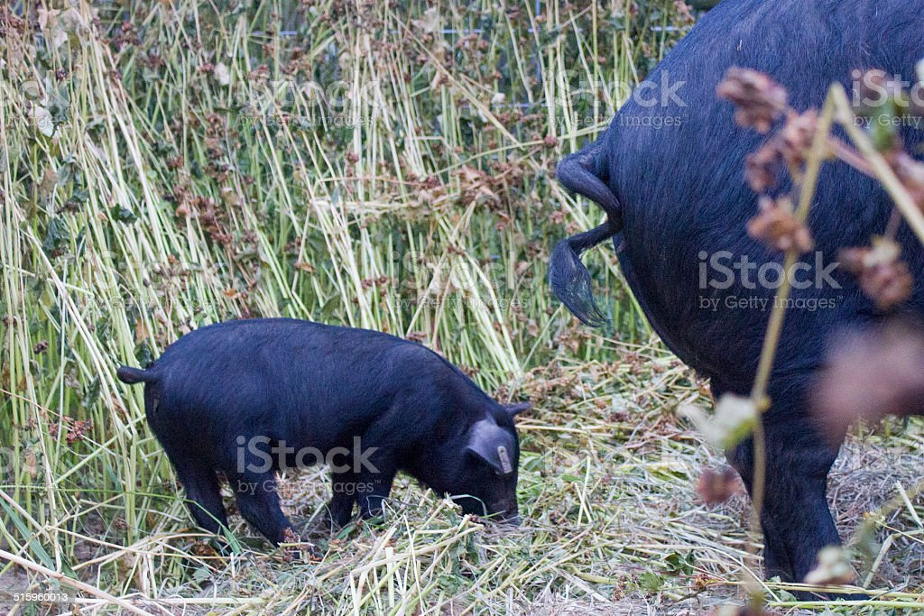 Piglet Standing Behind Mother Pig stock photo