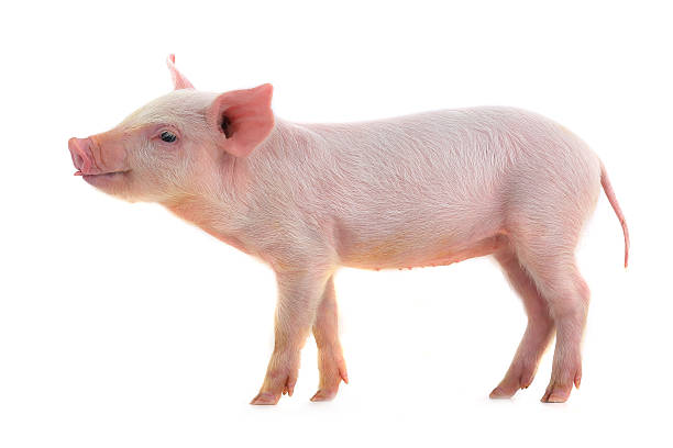 A piglet standing in front of a plain white background stock photo