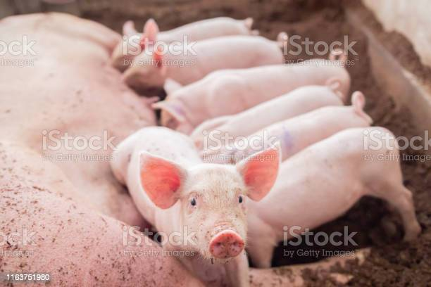 Piglet was looking at the camera while the mother pig was in the picture id1163751980?b=1&k=6&m=1163751980&s=612x612&h=yuu0fac8sz7wpg6welgqtueq9ehmdjlfimiqlkqwiz4=