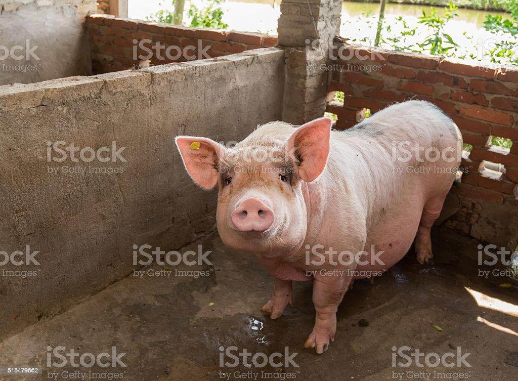 Ferkel in farm – Foto