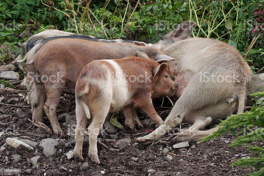 Piglets Eating Milk stock photo