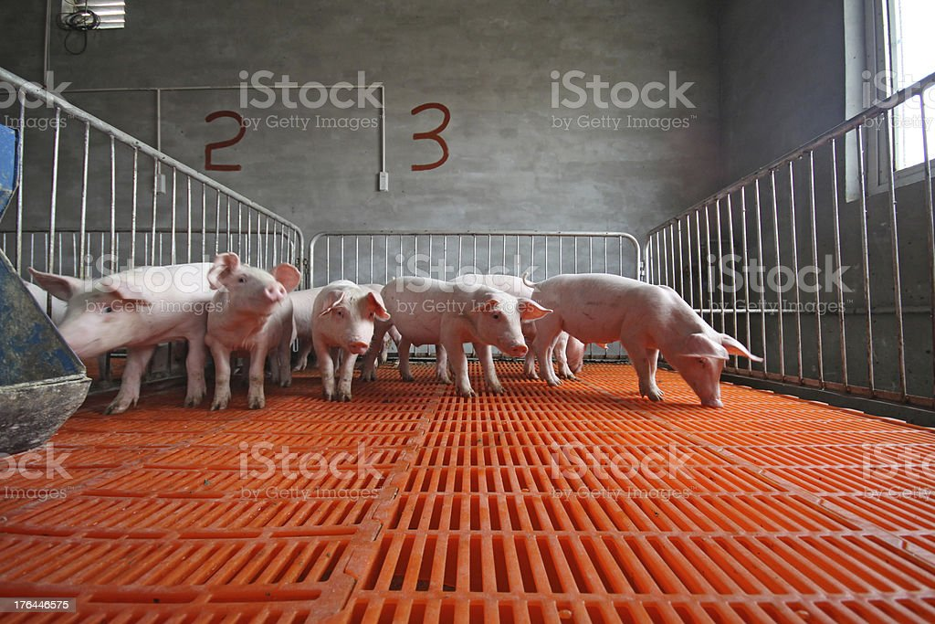 piglets in the enclosure royalty-free stock photo