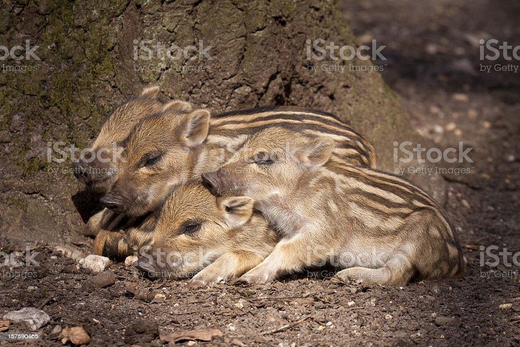 Piglets of Wild Boar stock photo
