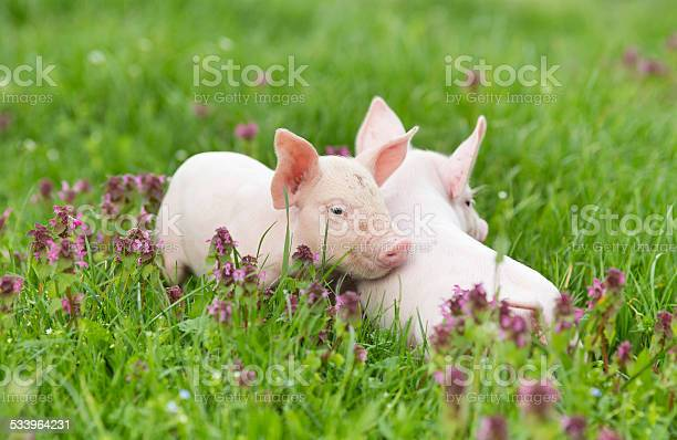 Piglets on grass picture id533964231?b=1&k=6&m=533964231&s=612x612&h=7r 05nmdsngdqwa p6rfcq yu 5 dfk3yy7vez05adm=