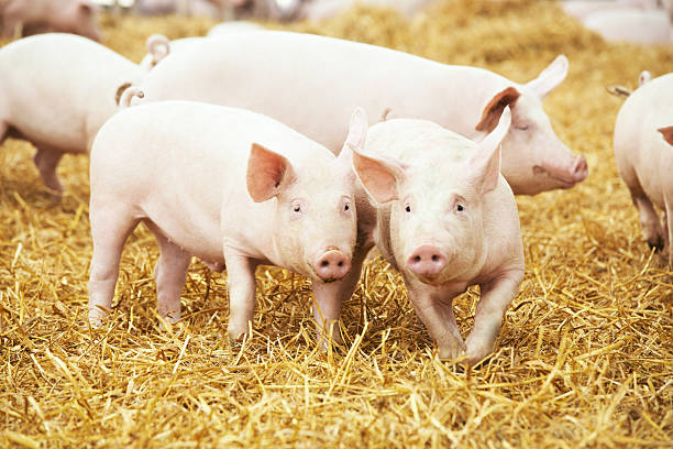 piglets on hay and straw at pig breeding farm stock photo
