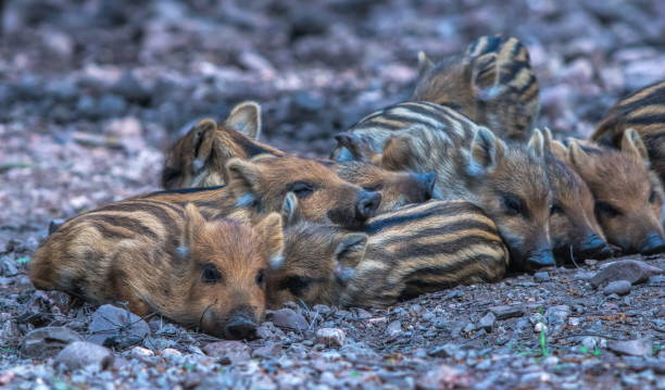 (boar) piglet´s - cinghiale animale foto e immagini stock