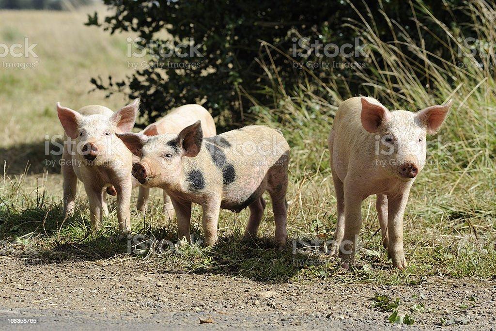Piglets royalty-free stock photo