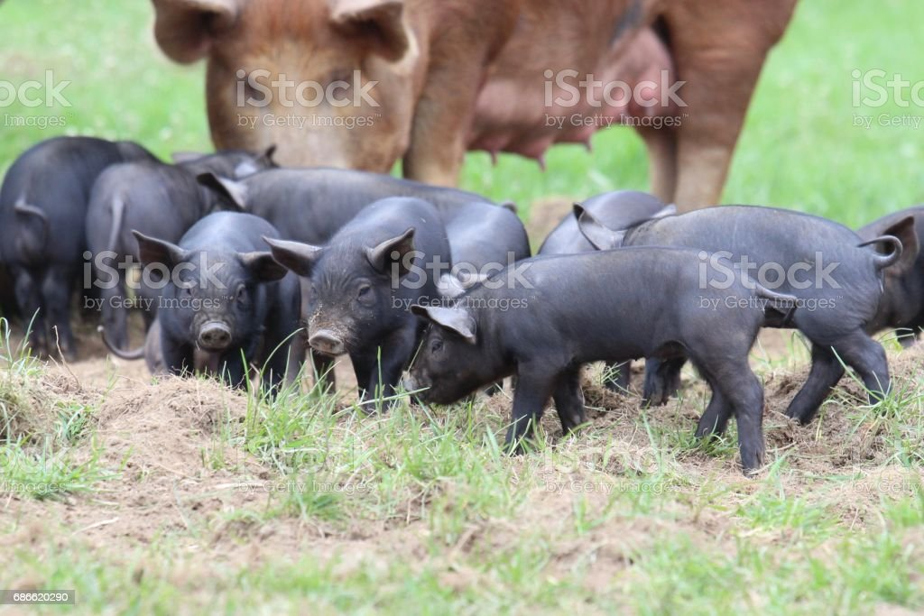 Piglets royalty-free stock photo