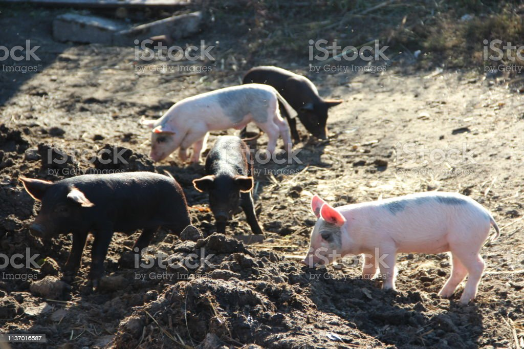 Piglets playing and jolly run in farm yard. Funny pigs in sunny rays....