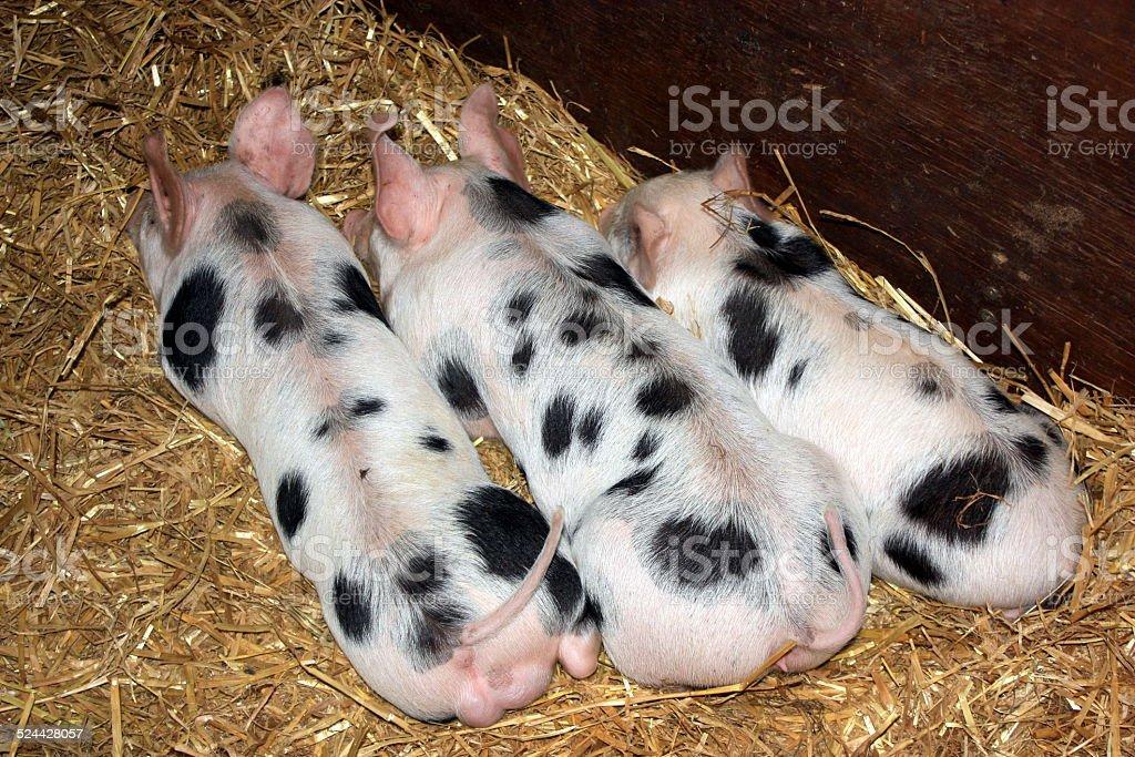 Piglets Sleeping stock photo