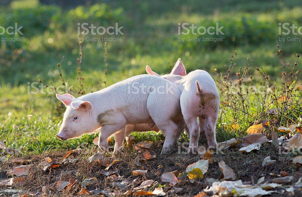 Piglets walking on farm stock photo