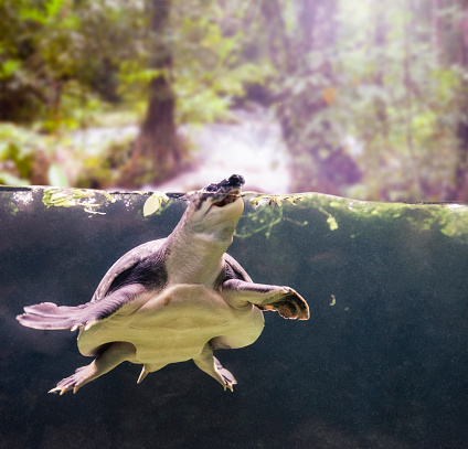 Pig-Nosed Turtle, Carettochelys Insculpta. (AKA Pitted-Shelled Turtle And Fly River Turtle).