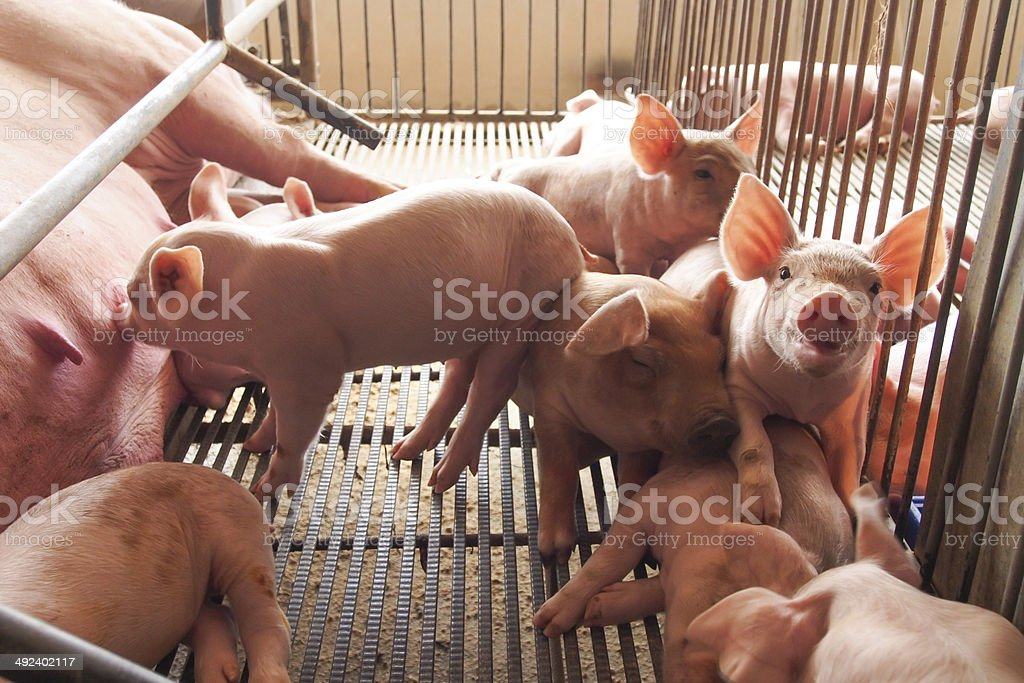 Pigs and piglets in metal cages on a farm stock photo