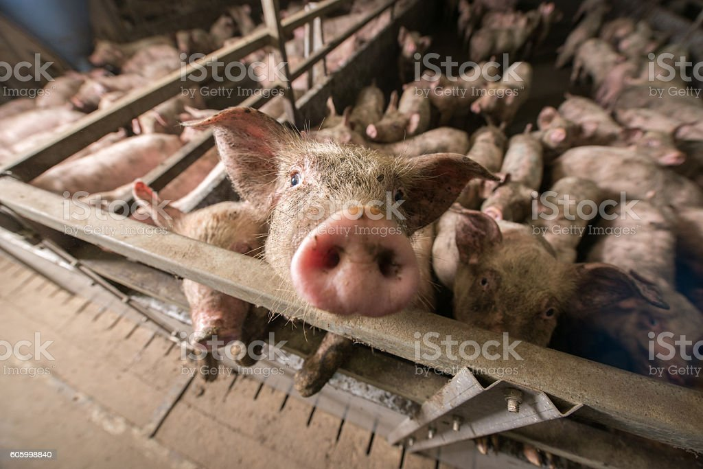 Pigs at a factory - foto stock