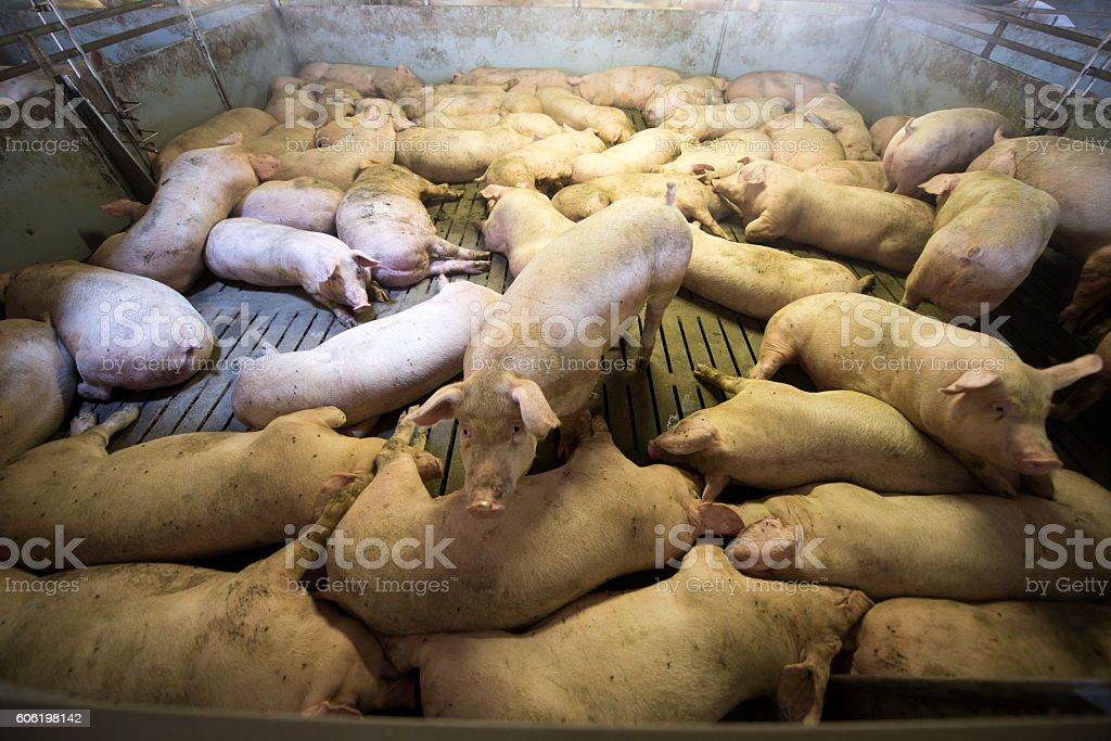 Schweine in einer Fabrik - Lizenzfrei Agrarbetrieb Stock-Foto