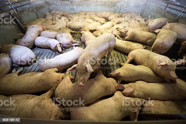 Schweine In Einer Fabrik Stockfoto und mehr Bilder von Agrarbetrieb