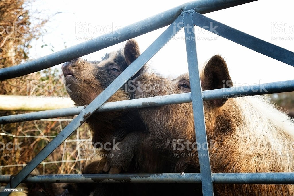pigs begging for food stock photo