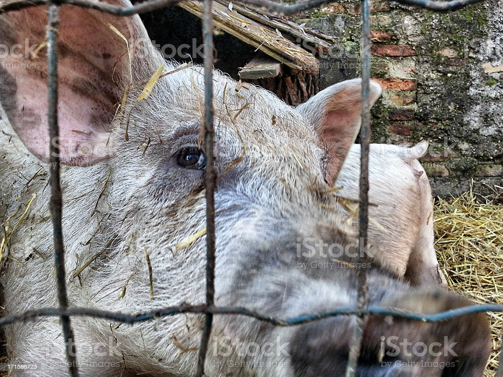 Pigs behind the bars, Livestock royalty-free stock photo