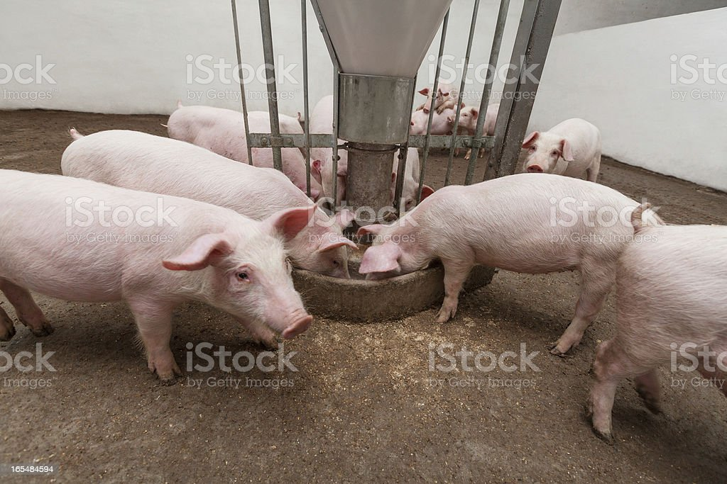 Pigs enjoying a meal on a pig farm Pigs during feeding Agriculture Stock Photo