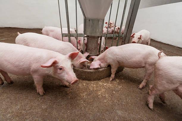 allevamento di maiale - scrofa foto e immagini stock