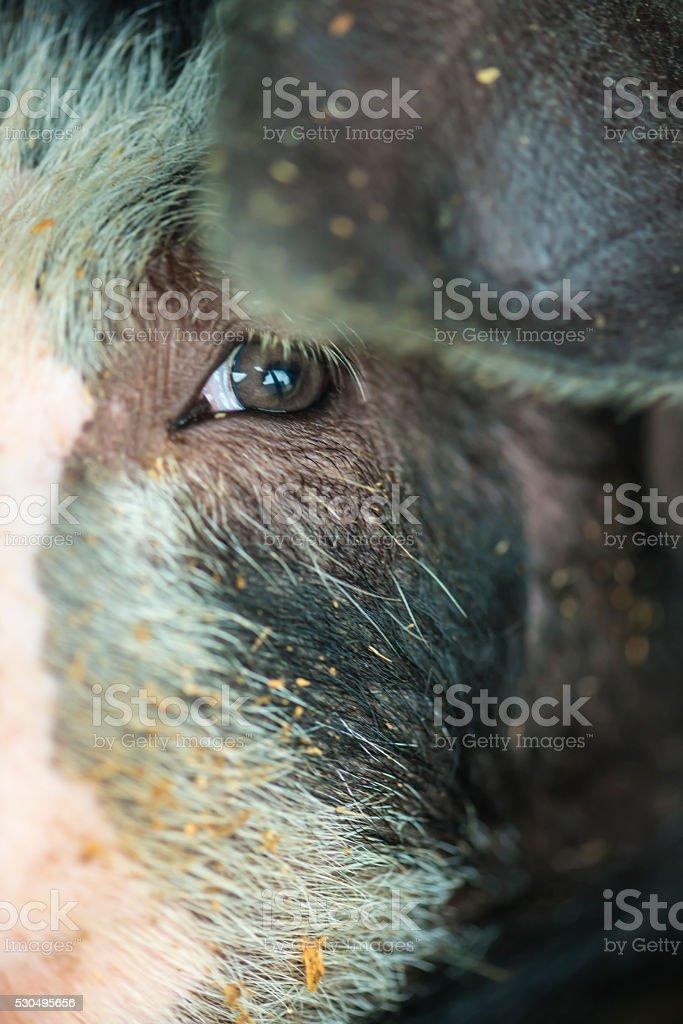 Schwein's auge – Foto