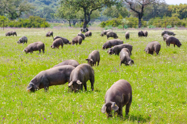 Pigs graze on farm in countryside of Badajoz, Extremadura. Pigs graze on farm in countryside of Badajoz, Extremadura. Copy space for text iberian stock pictures, royalty-free photos & images