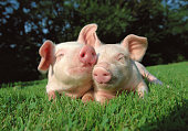 Pigs grazing on the grass field