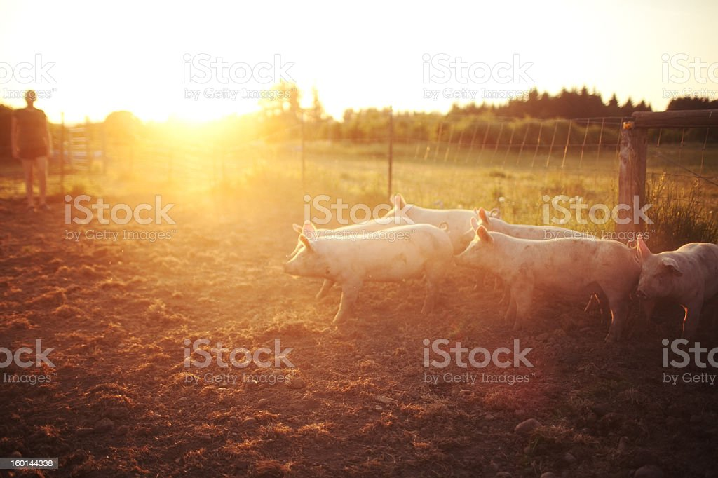 pigs grouped together during a sunset stock photo