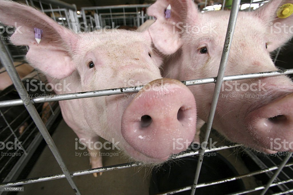 Pigs in a cage stock photo