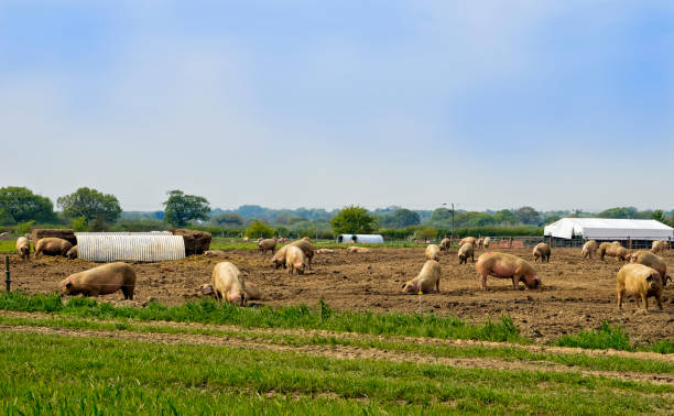 Pigs in a field stock photo