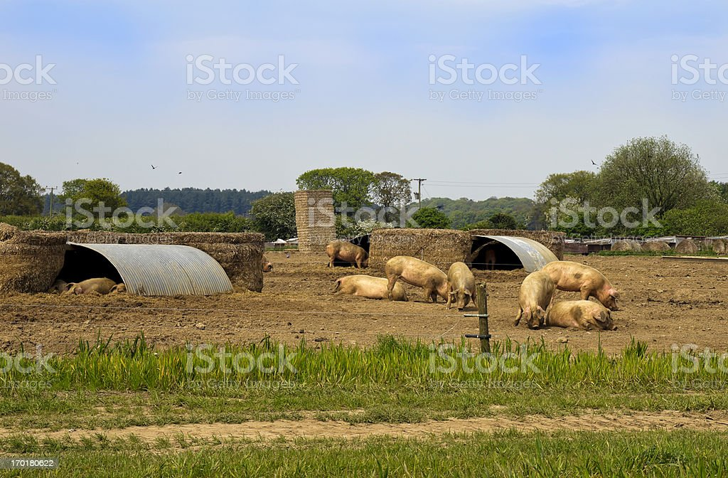 Pigs in a pig-farm stock photo