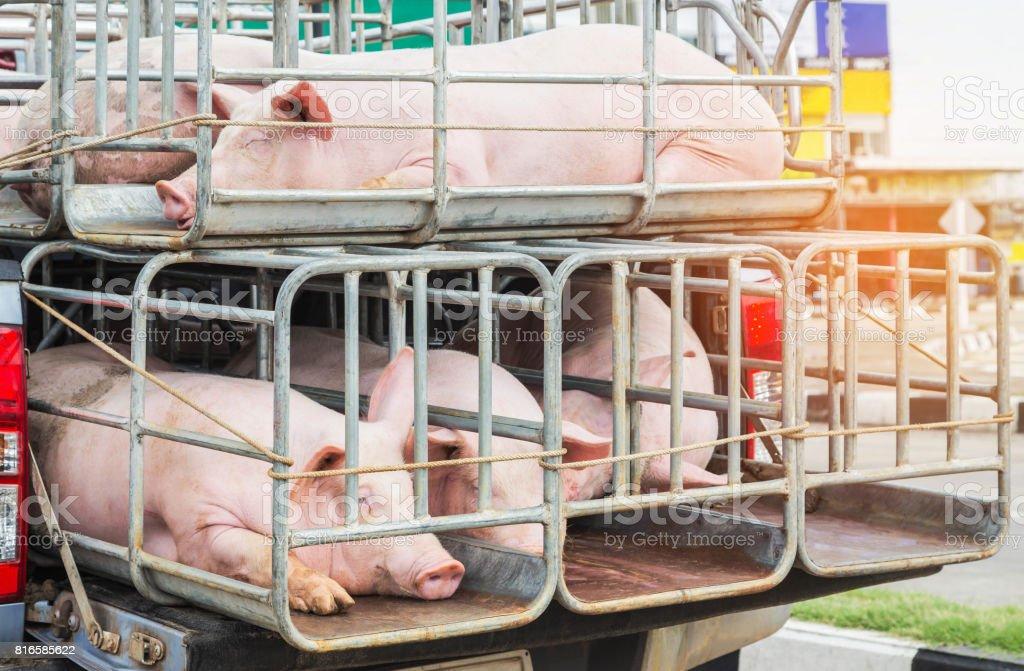 Porcs dans des cages sur le transport de camion - Photo