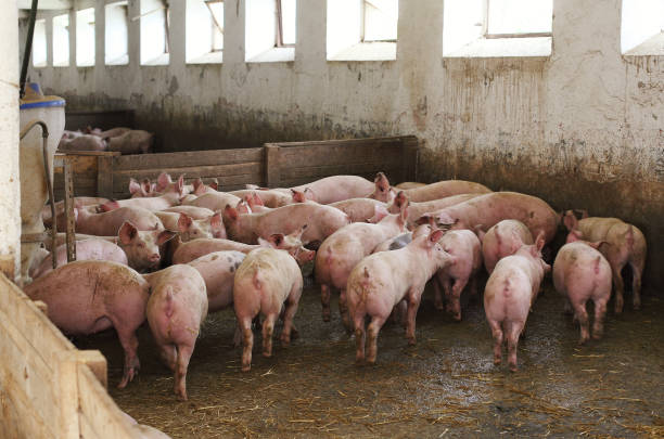 Pigs in dirty stable Bunch of pigs in stable anachronistic stock pictures, royalty-free photos & images