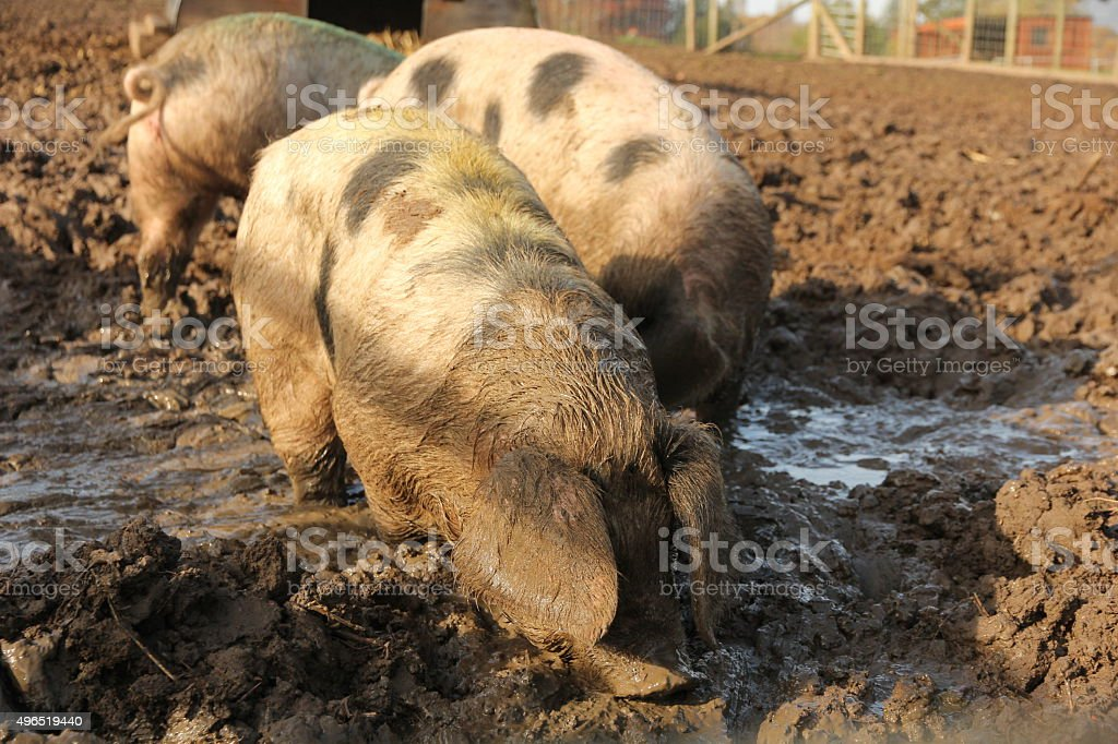 Pigs in muddy wallow stock photo