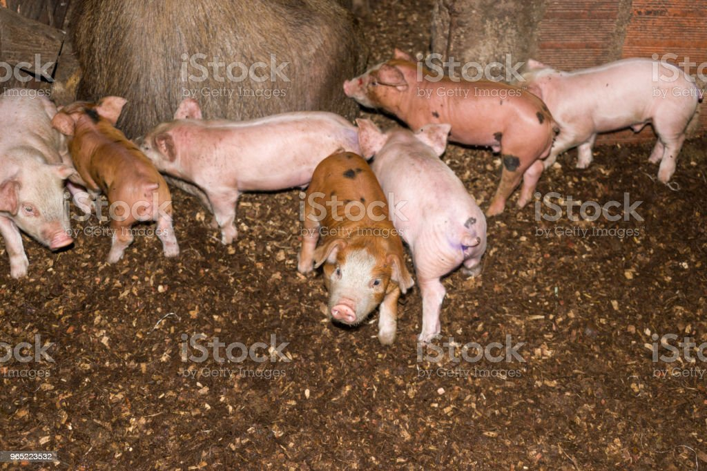 pigs in peasant farm zbiór zdjęć royalty-free
