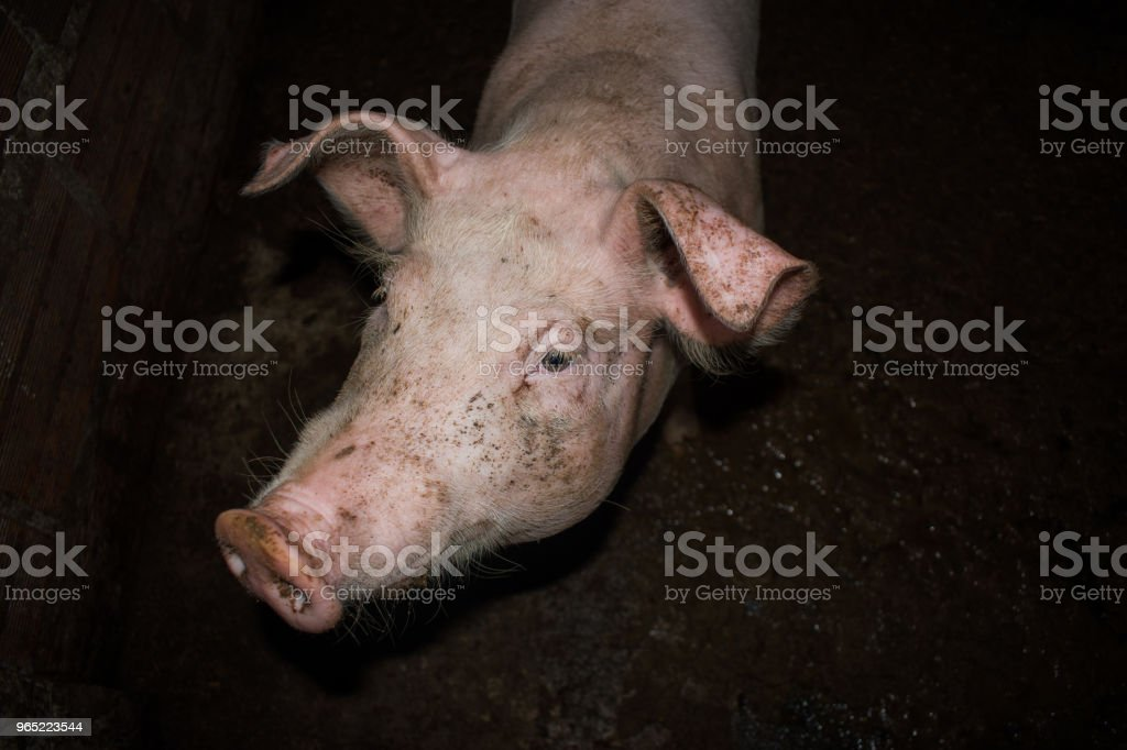 pigs in peasant farm royalty-free stock photo