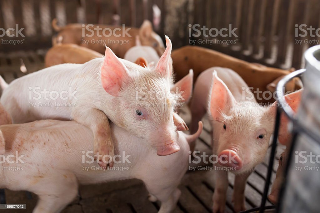 pigs in the farm stock photo