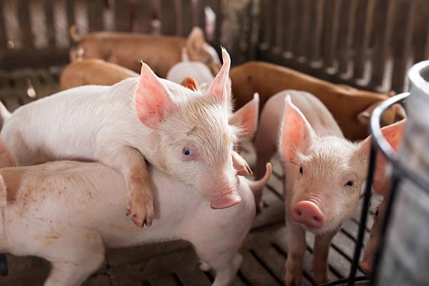 pigs in the farm - traumscheune stock-fotos und bilder