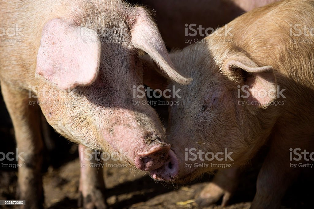 Pigs in the farmyard stock photo