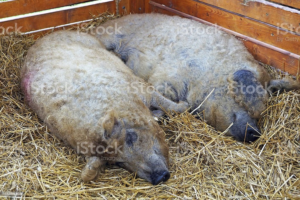 pigs in the hutch royalty-free stock photo