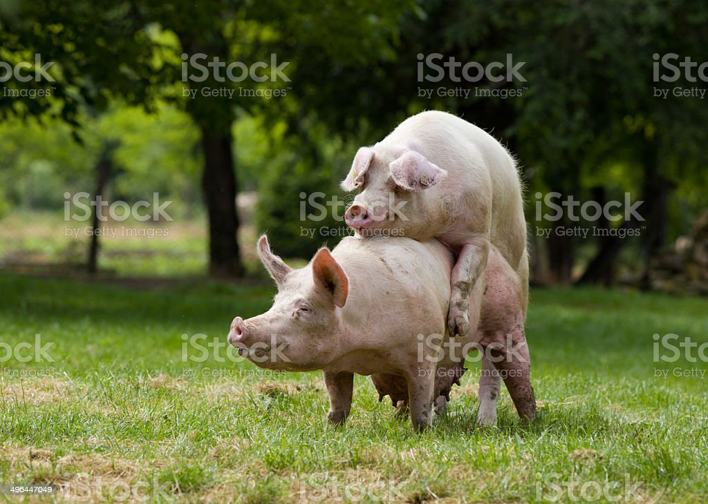 Pigs mating stock photo