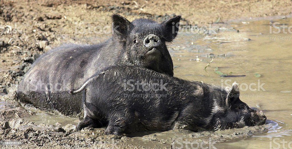 Pigs messing in the Mud stock photo