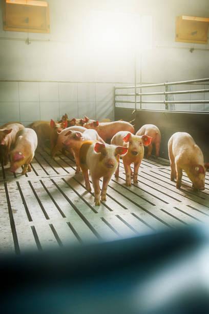 Pigs on a farm stock photo